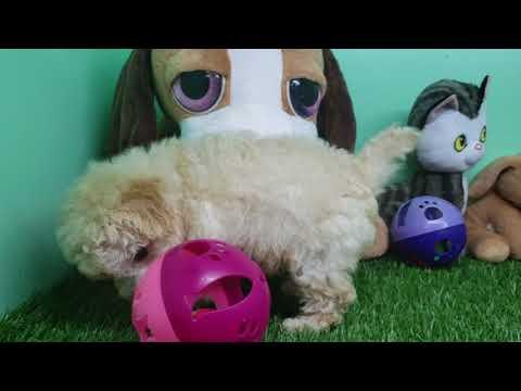 Maltipoo Puppy- Male- Sponky