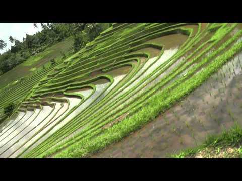 Bali (ind24-38) les rizières de Belimbing