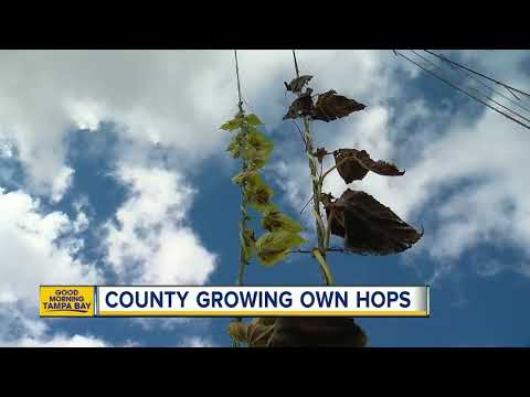 Tampa Bay's beer businesses buzzing about growing hops in Florida