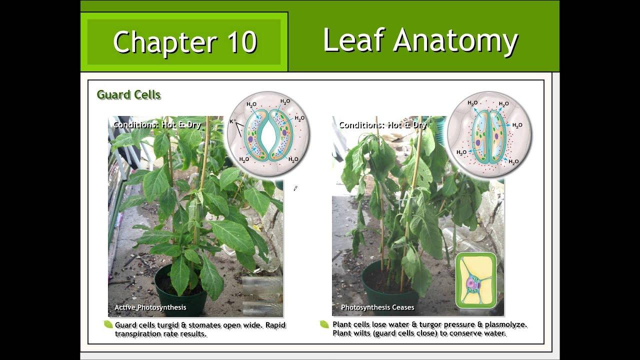 Leaf Anatomy - YouTube