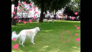 京都市動物愛護センターのドッグラン♪貸切りスペースで走り回るボルゾイ...