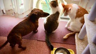 いつもの朝、夕方の犬の散歩 犬猫仲良し。
