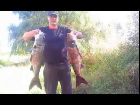 ловля толстолобика в мае видео