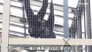 名古屋市の東山動植物園のフクロテナガザルの「アーッ」という鳴き声が...