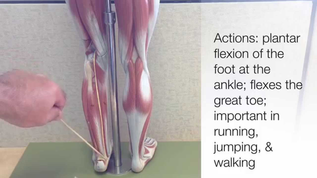 Muscles That Move the Lower Leg and the Foot - YouTube