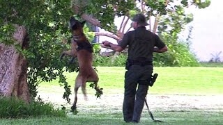 Police K9 Unit: 'hider' In The Tree Take-down Training