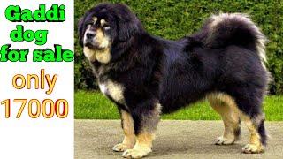 Gaddi dog for sale in Punjab 9855937831