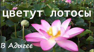 В Адыгее цветут лотосы.