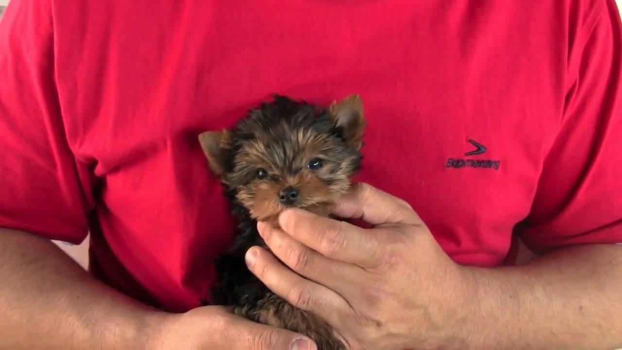 Diferenca entre yorkshire terrier e mini