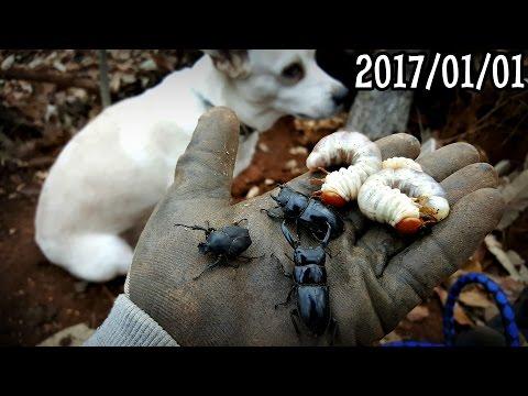 사슴벌레 채집기 2017년도 첫번째 Winter Stag Beetle Hunting クワガタ Dicranocephalus adamsi