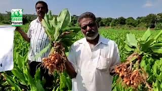 Excellent Result on Turmeric by Green Planet