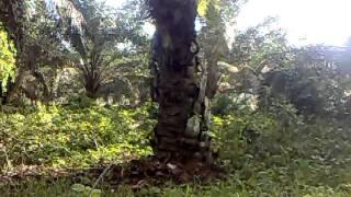 Video ayam hutan pikat betina.mp4 download MP3, 3GP, MP4, WEBM, AVI, FLV Juli 2018