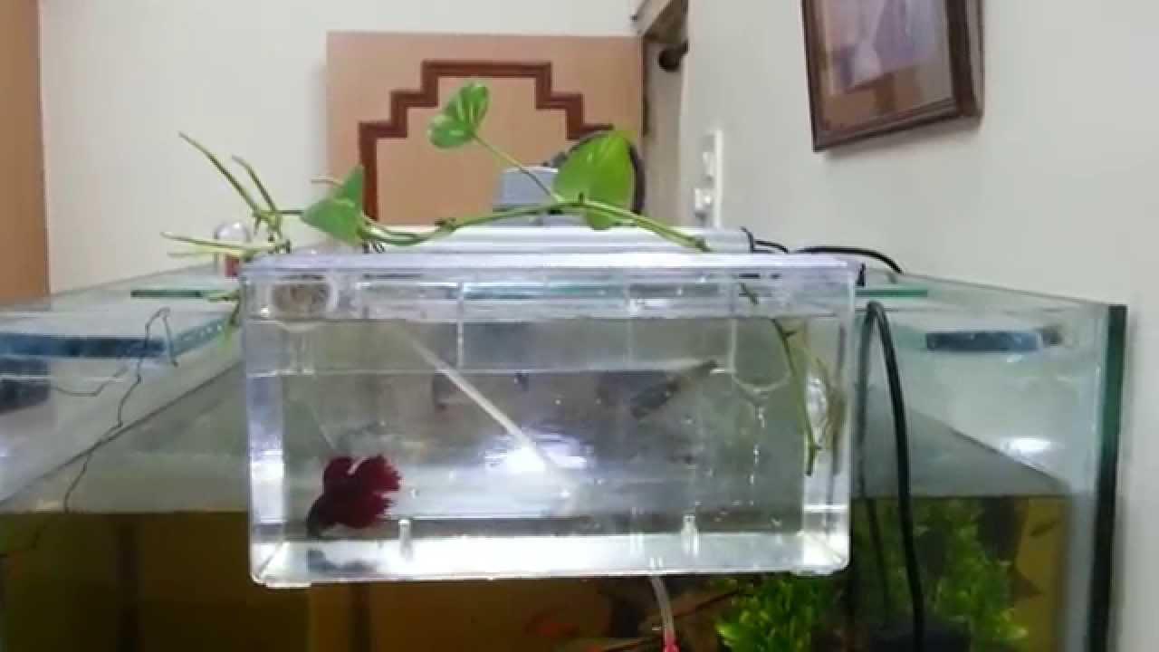 Betta isolation box with pothos aquaponics youtube for Betta fish aquaponics
