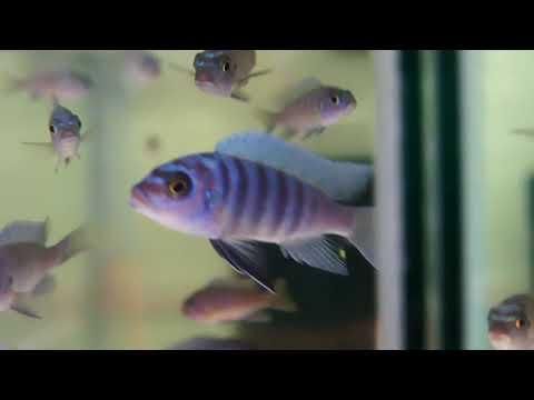 F1 Metriaclima Fainzilberi Maison Reef - Kev's Rifts