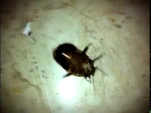 La cucaracha! ...ya no puede caminar.... [HD]