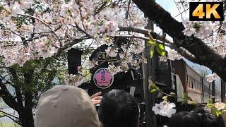 平成最後の桜満開です。 天気も良く、最高の花見日和でした。 大井川本...