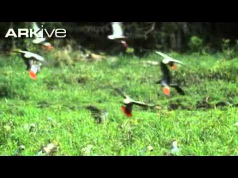 African grey parrot video  Psittacus erithacus 1