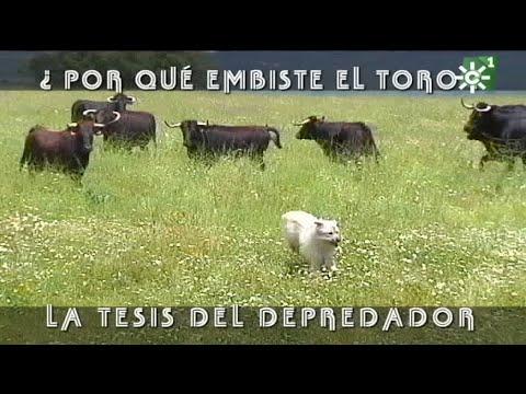 PGM 498 EL TORO UN DEPREDADOR ganadería SANCHO DÁVILA