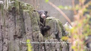 Meet Deemak and Kartick: 15-week-old sloth bear cubs