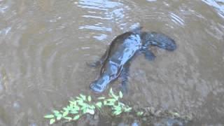 Утконос в дикой природе в Австралии