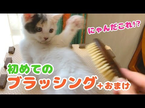 Challenge the kitten's first brushing