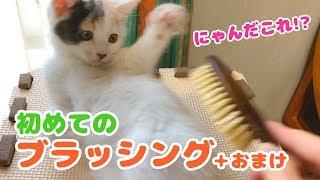 子猫のぽてと・初めてのブラッシングにチャレンジ