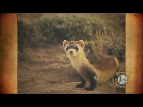 A History of Black-Footed Ferrets