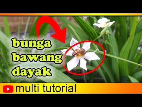 Bunga Bawang Dayak Multitutorial Garden Youtube