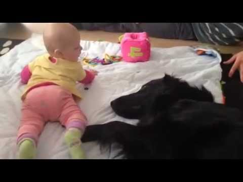Flat coated retriever with baby