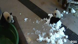 Repeat youtube video Toronto Zoo Giant Panda Cub Searches For A Playmate