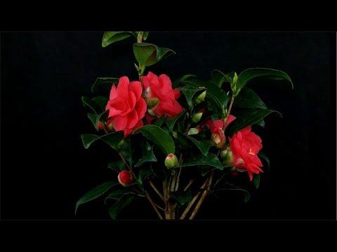 "Camellia japonica ""Flame"" / Kamelie / Japanese Camellia"