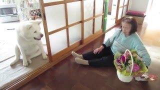 【秋田犬げんき】お婆さんにプレゼントが届いたけどあまり関心が無い【akita dog】