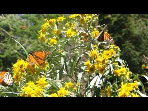 Monarch Butterflies - Feb 2008