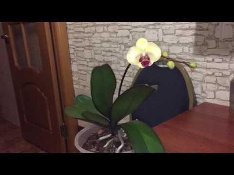 Что надо для цветения фаленопсиса? Как заставить цвести орхидею? Уход за орхидеей фаленопсис.