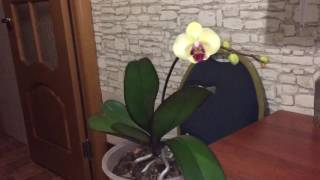 Что надо для цветения фаленопсиса? Как заставить цвести орхидею? Уход за орхидеей фаленопсис.(https://m.vk.com/id17127059 моя страница в вк., 2016-10-26T22:19:41.000Z)