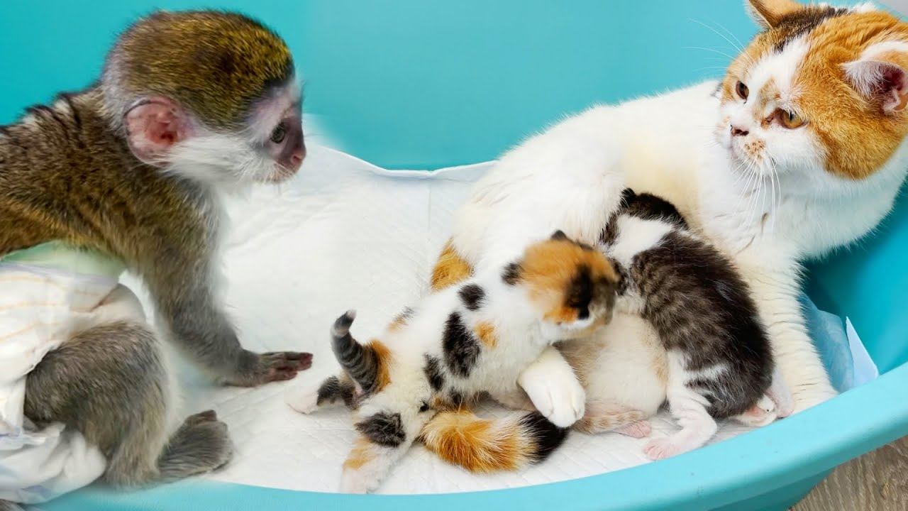 Susie pranks and jumps while mom cat feeds kittens. ASMR
