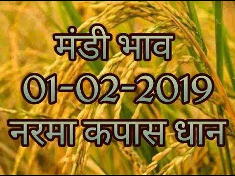 Mandi Bhav 01-02-2019 // Narma Bhav // Kapas mandi bhav today // Dhaan Mandi Rates