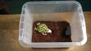 Giant Frog Is Having White Mouse For Breakfast.