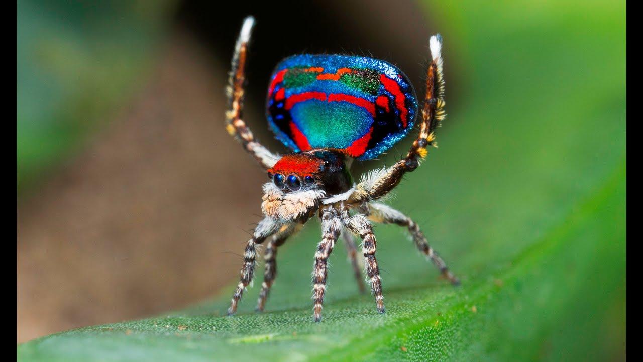 Peacock Spider 12 (Maratus caeruleus) - YouTube