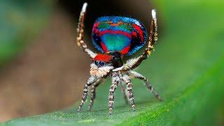 Peacock Spider 12 (Maratus caeruleus)