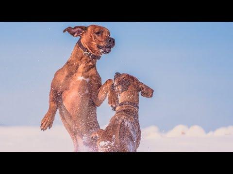 Rhodesian Ridgebacks vs Snow