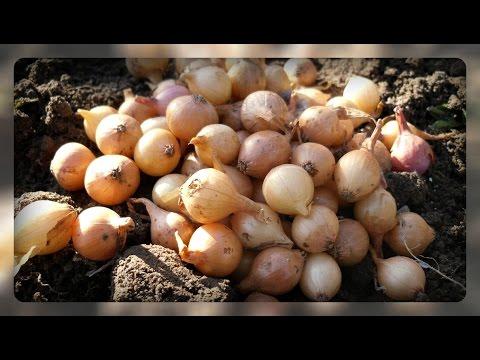 как садить озимый лук осенью
