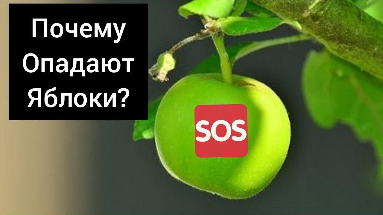 Почему опадают яблоки?