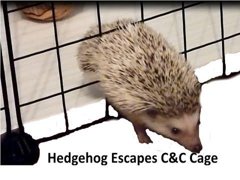 Hedgehog Escapes C&C Cage