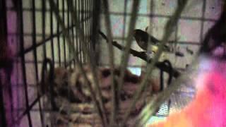 Cria en cautiverio paraguayito o capuchino garganta cafe (sporophila ruficollis).