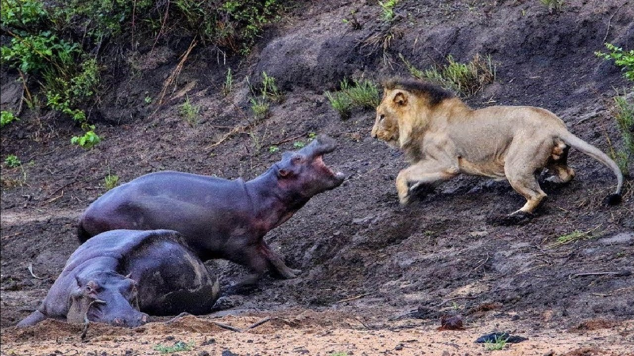 Смейтесь в самые веселые и хаотичные моменты # 39 - Расслабляющие моменты, Видео из животного мира