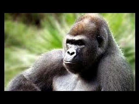 como es el pene del gorila
