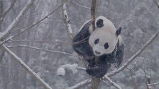 Giant pandas in the snow Feb. 20, 2019