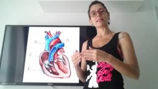 E circulatório sistema do coração partes funções suas