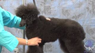 Grooming A Miniature Poodle In A German Trim